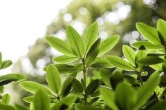 O verde sae em uma árvore destacada pelo sol Fotografia de Stock Royalty Free