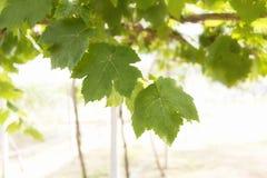 O verde sae na videira no jardim Fotos de Stock Royalty Free