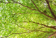 O verde sae no ramo de árvore com o ninho do pássaro Imagens de Stock Royalty Free