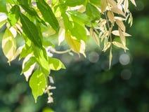O verde translúcido sae retroiluminado pelo sol da tarde Fotos de Stock Royalty Free
