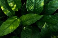 O verde tropical sae no fundo escuro, conceito da planta da floresta do verão da natureza imagem de stock
