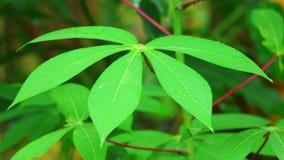 O verde vegetal da mandioca deixa a estática ascendente próximo video estoque