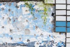 O verde velho da parede da cor azul e branca sae de plantas Fotografia de Stock