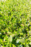 O verde vibrante folheia close-up Imagem de Stock