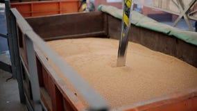 O verificador da ponta de prova mergulha no reboque do caminhão para recolher o trigo para a análise da qualidade Sistema de cont vídeos de arquivo