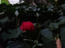 O vermelho bonito aumentou flores no dia de verão imagem de stock royalty free