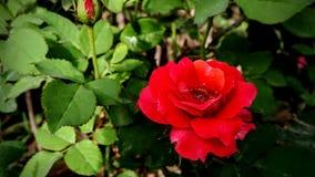 O vermelho bonito aumentou fundo verde da natureza das folhas fotografia de stock