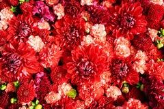 O vermelho bonito floresce o fundo Flores do áster Fotografia de Stock
