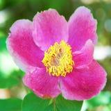 O vermelho bonito floresce peônias Fotografia de Stock