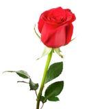 O vermelho bonito levantou-se imagens de stock royalty free