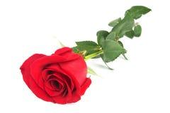 O vermelho bonito levantou-se imagem de stock royalty free