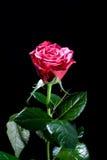 O vermelho bonito levantou-se Fotografia de Stock Royalty Free