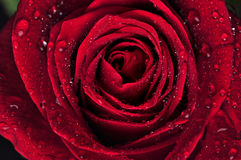 O vermelho bonito levantou-se com gotas da chuva Foto de Stock