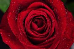 O vermelho bonito levantou-se com gotas da chuva Fotografia de Stock