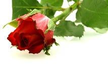O vermelho bonito levantou-se com gotas sobre o branco Fotos de Stock Royalty Free