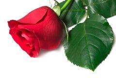 O vermelho bonito levantou-se em um fundo branco Imagens de Stock Royalty Free