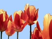 O vermelho brilhante coloriu tulipas contra um fundo de um céu azul Imagem de Stock