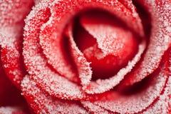 O vermelho congelado levantou-se na geada branca imagens de stock royalty free