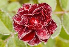 O vermelho congelado levantou-se no backround verde Imagem de Stock Royalty Free