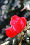 O vermelho de florescência levantou-se Fotografia de Stock Royalty Free