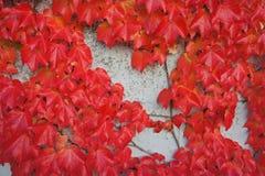 O vermelho deixa o outono Imagens de Stock