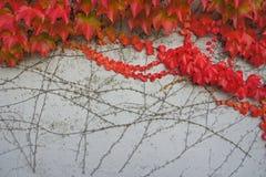 O vermelho deixa o outono Imagem de Stock Royalty Free