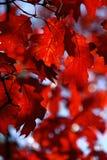 O vermelho deixa vislumbrar no Sun Autumn Layout fotos de stock