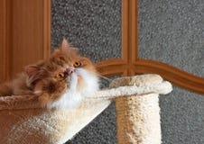 O vermelho do gato persa com cor branca Fotos de Stock Royalty Free