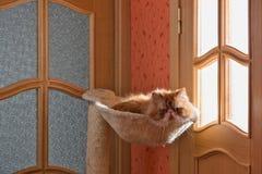 O vermelho do gato persa com cor branca Fotografia de Stock Royalty Free