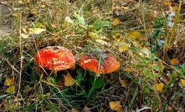 O vermelho dois flyfish cogumelos entre a grama imagens de stock