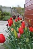 O vermelho e as cabeças da tulipa de Borgonha peça aberto fotos de stock royalty free