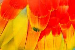 O vermelho e o ouro colorem detalhes de penas de uma arara Imagem de Stock