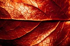 O vermelho e o sepia tonificaram a foto macro extrema do close up da estrutura de superfície áspera seca da folha com a nervura c foto de stock