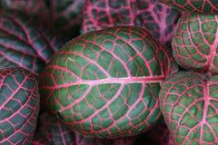 O vermelho e o verde coloriram as folhas imagem de stock