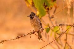 O vermelho exalou o pássaro do bulbul na floresta meados de que considera algo seriamente Fotos de Stock Royalty Free