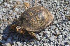 O vermelho Eyed o Terrapene oriental masculino carolina carolina da tartaruga de caixa imagens de stock