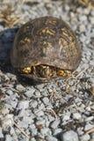 O vermelho Eyed o Terrapene oriental masculino carolina carolina da tartaruga de caixa fotos de stock