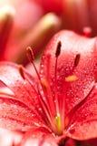 Flores de Lilly com gotas da água imagem de stock