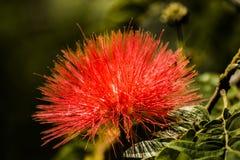 O vermelho floresce o greenlife da beleza da natureza Imagem de Stock Royalty Free