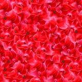 O vermelho floresce o teste padrão sem emenda Fotografia de Stock Royalty Free