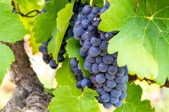 O vermelho francês e aumentou a planta das uvas para vinho, primeira colheita nova da uva para vinho domínio ou castelo no AOP de fotografia de stock royalty free