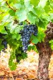 O vermelho francês e aumentou a planta das uvas para vinho, primeira colheita nova da uva para vinho domínio ou castelo no AOP de imagens de stock royalty free