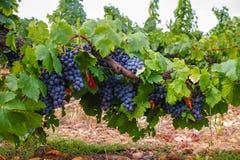 O vermelho francês e aumentou a planta das uvas para vinho, primeira colheita nova da uva para vinho domínio ou castelo no AOP de fotos de stock royalty free