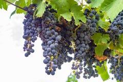 O vermelho francês e aumentou a planta das uvas para vinho, primeira colheita nova da uva para vinho domínio ou castelo no AOP de fotografia de stock