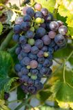 O vermelho francês e aumentou a planta das uvas para vinho, primeira colheita nova da uva para vinho em França no fim do vinhedo  imagem de stock