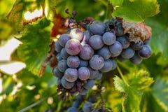 O vermelho francês e aumentou a planta das uvas para vinho, primeira colheita nova da uva para vinho em França no fim do vinhedo  foto de stock