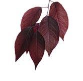 O vermelho fresco, brilhante deixa as ameixas, isoladas em um fundo branco Folhas vermelhas Ramo cor-de-rosa ensolarado com folha Foto de Stock Royalty Free