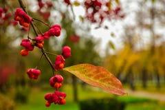 O vermelho frutifica close up Fotografia de Stock