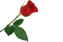 O vermelho isolado levantou-se no fundo branco Foto de Stock Royalty Free
