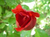 O vermelho levantou-se Imagem de Stock Royalty Free